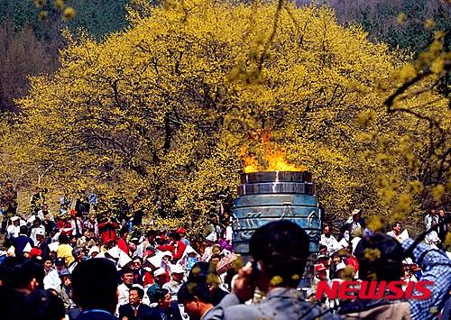 노란 꽃 물결 장관 이룬 이천 산수유마을.jpg